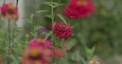 Zinnia Flower Growing in a Garden Stock Footage