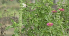 Basil Plant Growing in a Garden Stock Footage