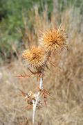 Dry thorn. Stock Photos