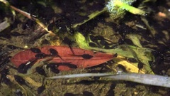 Close-up of Hundreds of tadpoles swim in a serene pond.ULTRA HD 4K, real time Stock Footage