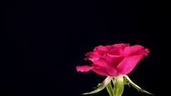 Water falls on a flower of a rose and rolls down, slow motion Stock Footage