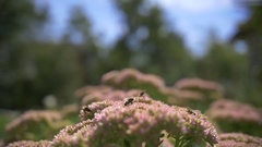 Honey bee collecting pollen from flowers, slow motion Stock Footage
