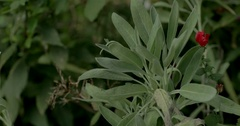 Culinary Sage Plant in Garden with Light Breeze Stock Footage