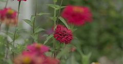 Zinnia Flower Growing in a Garden Stock Footage