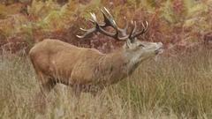 Red Deer stag (Cervus elaphus) smelling the air Stock Footage