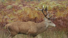 Red Deer stag (Cervus elaphus) wallking left to right Stock Footage