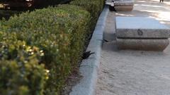 Black bird hopping around Stock Footage