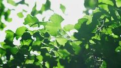 Green leaf Ginkgo biloba summer Ginkgo Maidenhair Tree Stock Footage