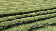 Tea plantation, Sao Miguel - Azores Stock Footage