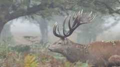 Red Deer stag (Cervus elaphus) walking right to left through bracken or ferns Stock Footage