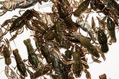 Alive crayfish closeup. Stock Photos