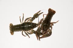 Alive crayfish isolated on white background. Stock Photos