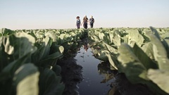 Farmers Walking through Wet Cabbage Field Stock Footage