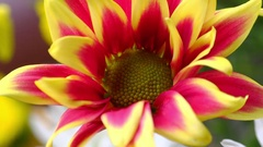 Beautiful Gazania (South African Daisy) flowers bouquet. Panning video Stock Footage