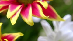 Beautiful Gazania (South African Daisy) flowers bouquet. Zooming video Stock Footage
