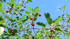 Cherry tree branch with red berries Stock Footage