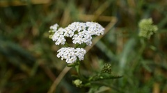 Common yarrow or milfoil Stock Footage
