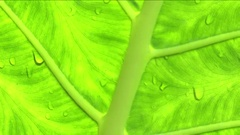 Rain drops on the green Alocasia Tree leaf. Wet season in tropical rainforest Stock Footage