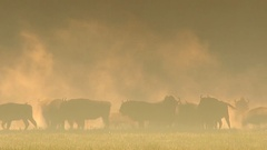 European Bison. Herd. Autumn. Morning. Fog. Stock Footage