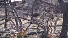 Burnet forest after a big forest fire in south europe Stock Footage