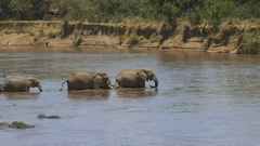 Long shot of a herd of elephants starting to crossing the mara river Stock Footage