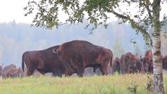 European Bison. Two males. Rutting season. Stock Footage