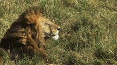 Close up side view of a male lion in masai mara, kenya Stock Footage