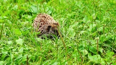 Hedgehog in grass outdoors Stock Footage