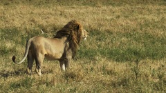 A male lion walks away from the camera in masai mara game reserve Stock Footage