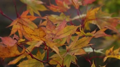Maple leaf red autumn sun light tree Stock Footage