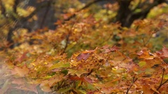 Autumn leaves of red maple tree Stock Footage