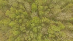 Spring Birch Forest Wide shot Stock Footage