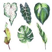 Tropical Hawaii leaves palm tree in a watercolor style isolated. Piirros