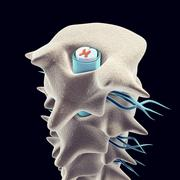 Vertebrae with spinal cord Stock Illustration