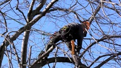 Tree Climber Among Branches Stock Footage