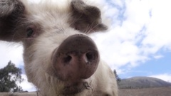 Pig drooling when eats Stock Footage