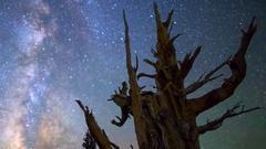 Astro Timelapse of Milky Way thru Ancient Bristlecone Pine Tree -Long Crop- Stock Footage