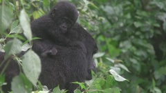 Gorilla mother and baby in the African jungle. Stock Footage