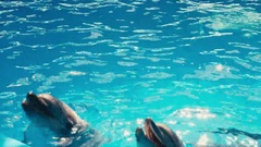 2 dolphins in dolphinariums open your mouth Stock Footage