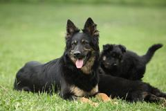 Beautiful bitch of Bohemian Shepherd with its puppies Stock Photos
