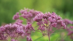 Purple flowers slowly sway in the afternoon, the bee flies around and sat down Stock Footage