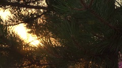 Slowly Moving Across The Branches Of Pine Tree Stock Footage