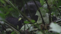 Gorilla eating leaves in an African jungle. Stock Footage