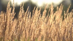 Plant With Dry Ears Moving With Light Wind On Sunny Day Stock Footage