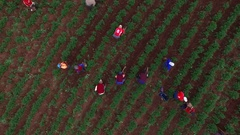 DRONE AERIAL FLYING OVER AGRICULTURAL FARMING FIELDS MANUAL LABOR Stock Footage