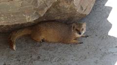 Yellow Mongoose (Cynictis penicillata) Stock Footage