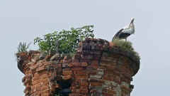 Stork family in the nest abandoned brick tower Stock Footage