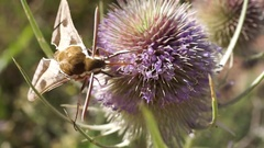 Moth extracting nectar from a thistle at the end it flies away Stock Footage