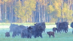 European Bison. Herd. Autumn. Stock Footage