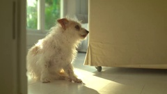 Small,scruffy white dog looking at camera Stock Footage